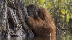 Peering Orangutan