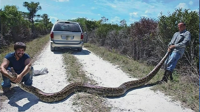 15ft Long King Cobra Caught In India