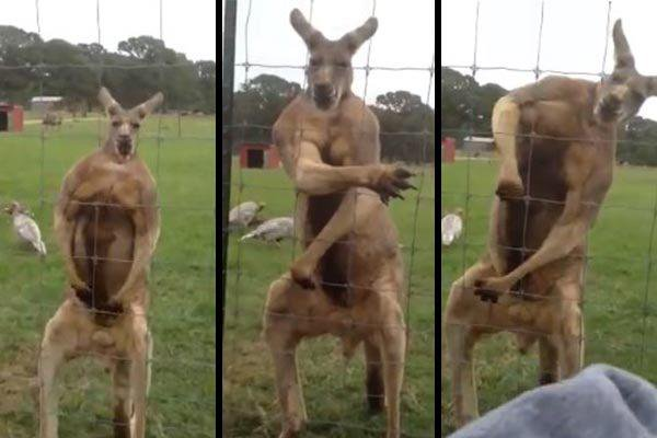 Incredibly Muscular Kangaroo Appears To Be On Steroids
