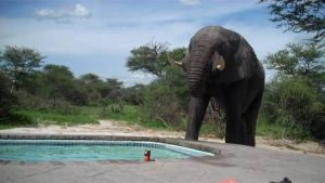 Elephant Crashes For Pool Party
