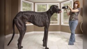 Video: World's Tallest Dog