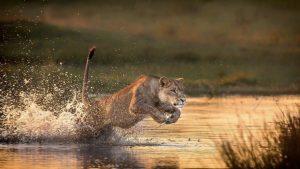 Fierce Lioness