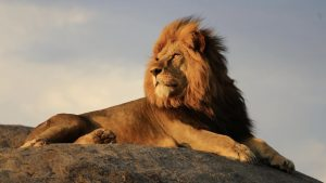 A Regal Lion