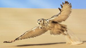 Flight of the Pharaoh Owl
