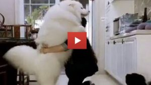 Fluffy Cute Samoyed Loves Being Carried Like A Baby