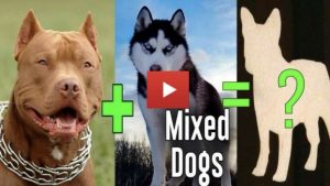 Amazing Dog Cross Breeds