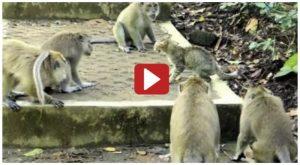 Five Monkeys VS Brave Cat