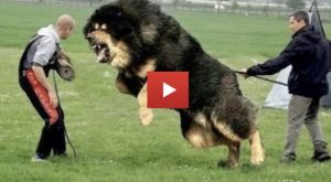 World's BIGGEST Guard Dogs