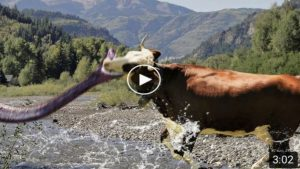 Mother Cow Defeated Anaconda To Save Her Baby