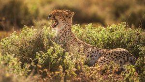 Say Cheetah