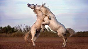 Quarrel of the Equines